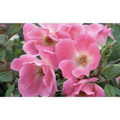 2.5 Qt. Rose Knockout Assorted in 6.3 in. Knockout Pot