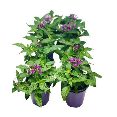 1.38 Pt. Penta Plant Violet Flowers in 4.5 In. Grower's Pot (8-Plants)