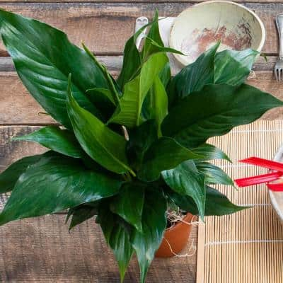 4 in. High Five Peace Lily, Live Potted Tropical Plant in Pot (1-Pack)