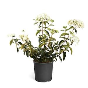 3 Gal. Snowball Bush Flowering Shrub with White Blooms