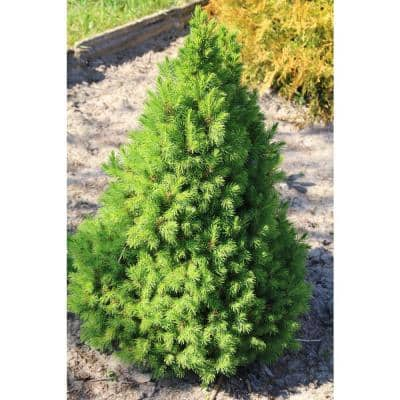 1 Gal. Dwarf Alberta Spruce Shrub Aromatic and Soft Evergreen Foliage, Almost no Maintenance Required