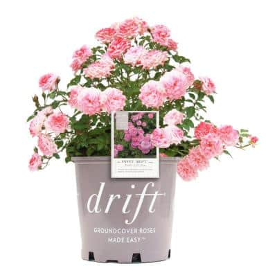 G2 Rose Drift Sweet with Double Pink Flower