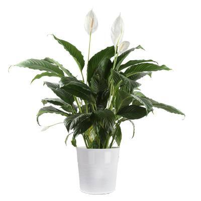 10 in. Spathiphyllum Peace Lily in White Plastic Deco Pot