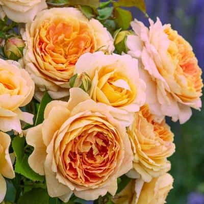 Fun in the Sun Grandiflora Rose Live Bare Root Flowering Rose Plant with Flowers Yellow (1-Pack)