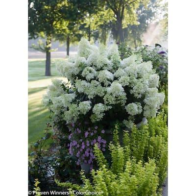 4.5 in. Qt. Bobo Hardy Hydrangea (Paniculata) Live Shrub, White to Pink Flowers