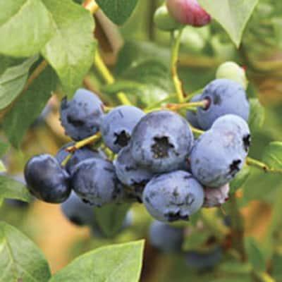 2.5 Gal - Woodard Blueberry Shrub (Rabbiteye) Bush - Fruit-Bearing Shrub