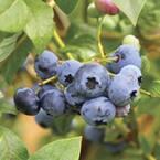9.25 in. Woodard Blueberry Shrub (Rabbiteye) Bush - Fruit-Bearing Shrub