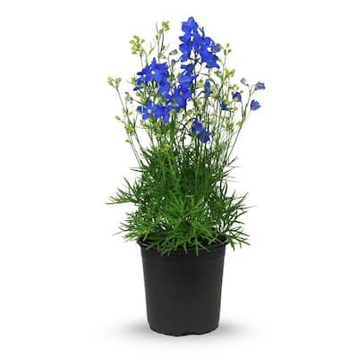 2.5 qt. Delphinium Blue Mirror Perennial Plant