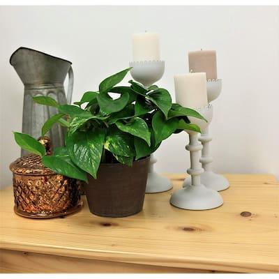 Golden Pothos 6 in. Grower Pot