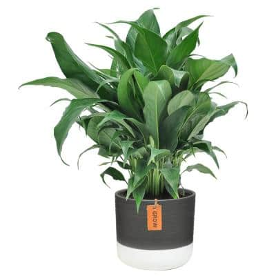 6 in. Spathiphyllum Peace Lily Plant in 2-Tone Ceramic