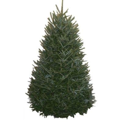 6-7 ft. Freshly Cut Live Abies Fraser Fir Christmas Tree
