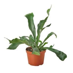 Staghorn (Fern) Plant in 6 in. Grower Pot