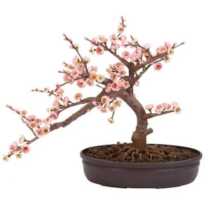 15 in. H Pink Artificial Cherry Blossom Bonsai Silk Tree