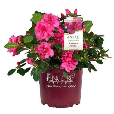 2 Gal. Autumn Rouge Shrub with Bright Pink Flowers