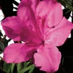 3 Gal. Autumn Sangria Shrub with Neon Pink Reblooming Flowers