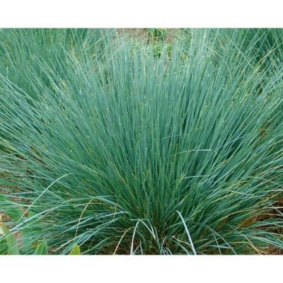 1 Gal. Blue Oat Grass - Long Flowing Blue-Silver Blades Of Grass Can Retain Their Striking Color Even Through Winter