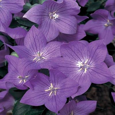 2.5 Qt. Twinkle Blue Balloon Flower Plant