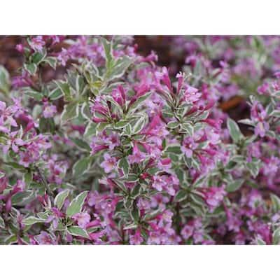 1 Gal. My Monet Purple Effect Weigela Live Plant, Purple Flowers