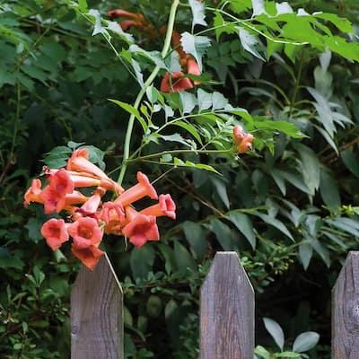 Trumpet Vine Orange Root Stock (1-set)