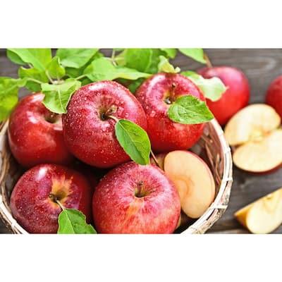 Dwarf Gala Apple Tree Bare Root