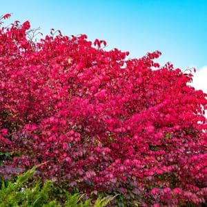 Burning Bush (Euonymus), Live Bareroot Shrub, Green Foliage Turns Red in Fall, 2 ft. to 3 ft. Tall (1-Pack)