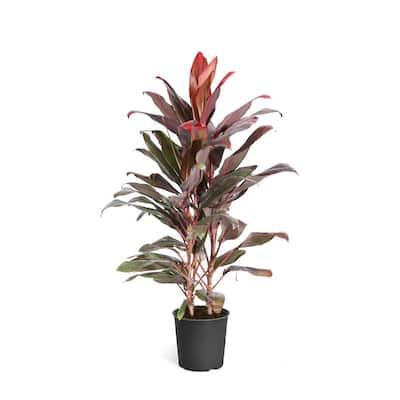3 Gal. Cordyline Florica Plant