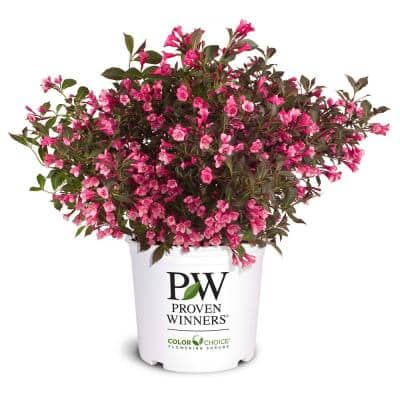 2 Gal. Wine and Roses Weigela Shrub with Rosy-Pink Flowers and Dark Glossy Foliage