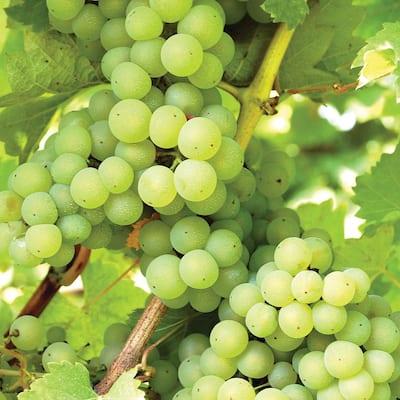 Grapes Niagara Plant
