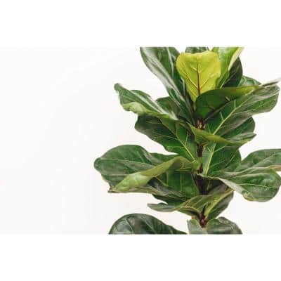 1.9 Gal. Ficus Lyrata Plant in 9.25 In. Grower's Pot