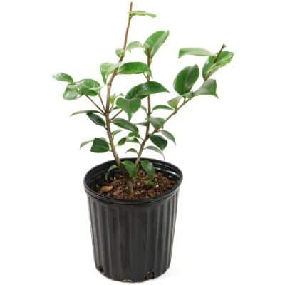 2.5 Qt. Blood of China Camellia Japonica Plant with Red Blooms
