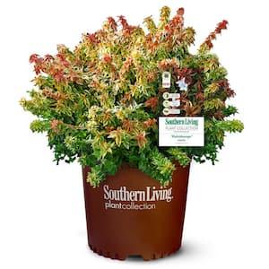 2 Gal. Kaleidoscope Abelia Plant with Chameleon-like Foliage that Blooms White Flowers