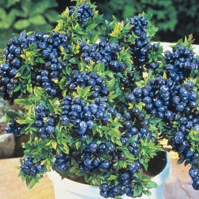 Tophat Blueberry (Vaccinium) Live Jumbo Bareroot Fruiting Plant White Flowering Fruiting Shrub