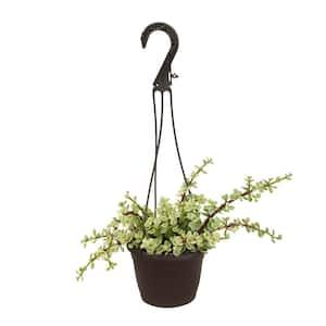 6 in. Portulacaria Afra Variegata Hanging Basket