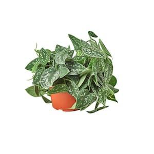 Pothos Satin Scindapsus Pictus Plant in 6 in. Grower Pot