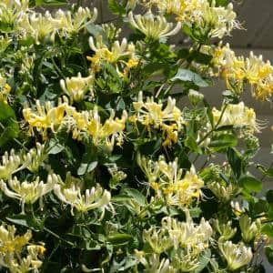 1 Gal. Scentsation Honeysuckle (Lonicera) Live Vine Shrub with Yellow Flowers and Red Berries