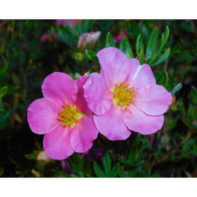 1 Gal. Pink Beauty Potentilla Shrub Numerous Rose Pink Flowers Add a Simple and Beautiful Depth to Landscapes