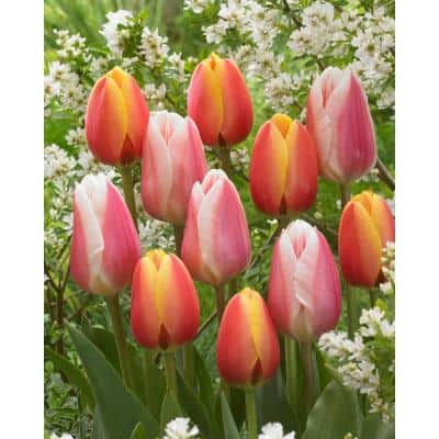 Bloom Pad Garden Easy to Plant Multi-Colored Tulip Bulbs (8-Pack)