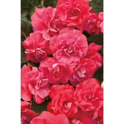 4-Pack, 4.25 in. Grande Rockapulco Coral Reef (Double Impatiens) Live Plant, Coral-Pink Flowers