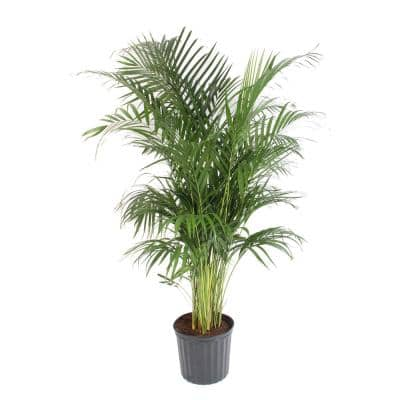 10 in Dypsis Areca Palm Plant in Grow Pot