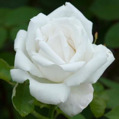 All-Time Favorites Frau Karl Druschiki Hybrid Tea Rose with White Flowers
