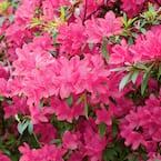 2.25 Gal. Azalea Chinzan Flowering Shrub with Pink Blooms