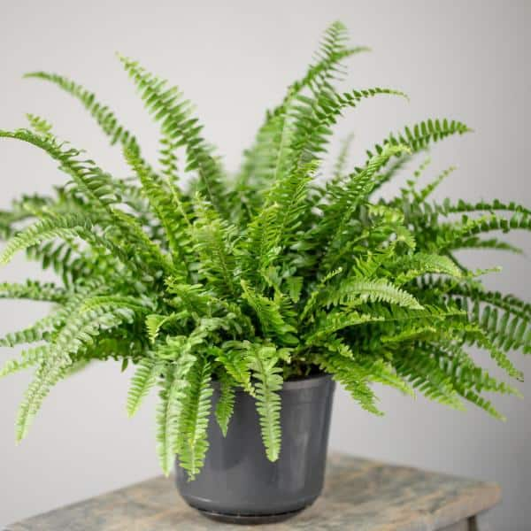 National Plant Network 2 5 Qt Australian Sword Fern Nephrolepis Plant In Grower Pot Hd7221 The Home Depot