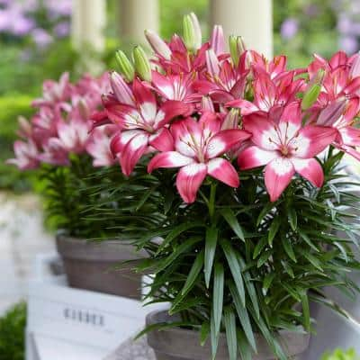 Lilies Perfect Joy for Patio and Containers (Set of 7 Bulbs)