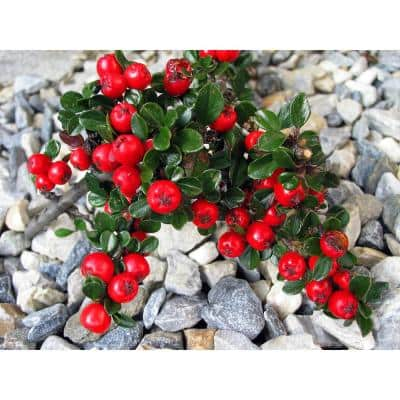 1 Gal. Cranberry Cotoneaster Shrub this True Multi-Purpose Shrub Displays a Different Color for Every Season