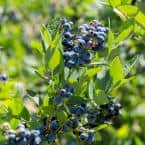 2.5 qt. Sunshine Blue Blueberry Plant