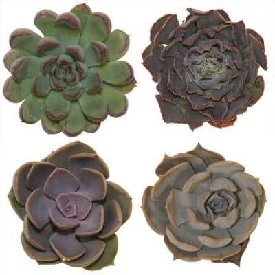 Small Succulents Assorted Echeveria in 2.5 in. Grower Pot (4 pack)