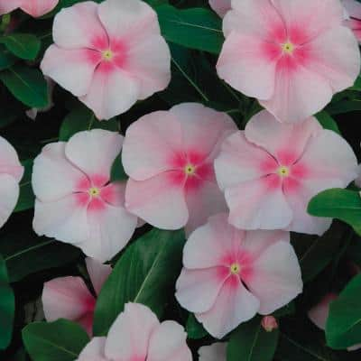 1.38-Pint Pink Periwinkle Plant
