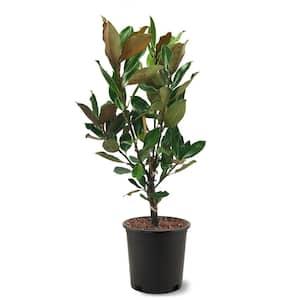 3 Gal. Little Gem Southern Magnolia Tree