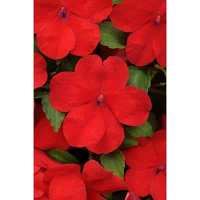 4 in. Red Impatien Plant (Pack of 6)