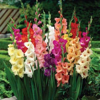Gladiolus Large Flowering Stars and Stripes Mixed (Set of 35 Bulbs)